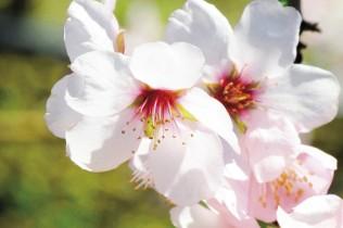 Frühlingserwachen in Schenna bei Meran - Apfelblüte
