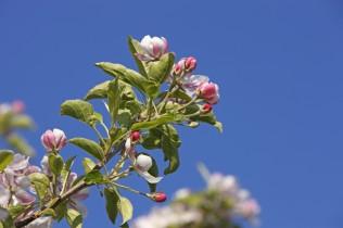 Blütezeit in Schenna bei Meran